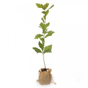 oak-tree-sapling-main